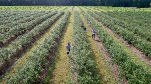blueberry field, people picking