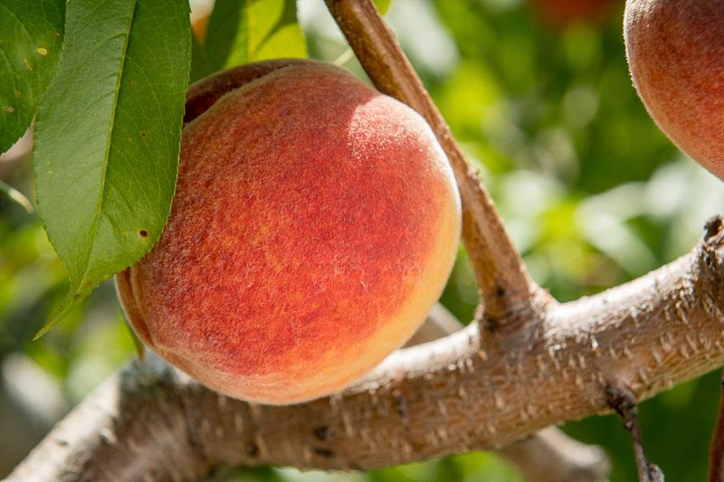 up close peach on branch