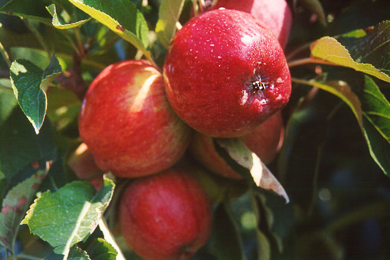 red apples on tree branch